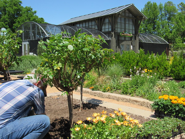 Staff photo by Cathy Spaulding<br /> Master gardener David Redding pats soil around a newly planted rose bush near the Papilion. Redding and other gardeners are working to prepare the Papilion for its season opening this weekend.