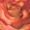 ANDREA CHANCELLOR/Special to the Phoenix<br /> A spectacular High and Magic rose.
