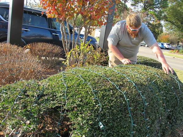 CATHY SPAULDING/Muskogee Phoenix<br /> Kyle Shores of Condley Landscaping works his way around a hedge as he puts up Christmas lights Wednesday afternoon at Firstar Bank on Chandler Road. Workers strung lights along the roof and put up outdoor wreaths.