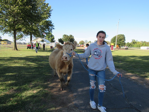 CATHY SPAULDING/Muskogee Phoenix Elizabeth Stretch leads a heifer toward the Cow Chip Bingo grid Saturday. The cow was to have dropped her waste onto a numbered/lettered grid.