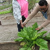CATHY SPAULDING/Muskogee Phoenix<br /> Marilyn Brown, left, and Alisha Beasley admire a massive mustard green plant in Brown's garden plot at the Spaulding Park community garden on Thursday. Brown said she began planting mustard greens and other produce in the Spaulding Park community garden earlier this summer. She said a mustard green plant is the only thing that remains.