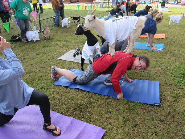 CATHY SPAULDING/Muskogee Phoenix<br /> Kid goats seem to pose for a picture on Meghan Bliss' back as Bliss participates in a Goat Yoga session Saturday at Hunt's Green Space. The event raised awareness and money for Fostering Hope.