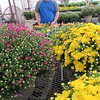 Staff photo by Cathy Spaulding<br /> Connors State College sophomore Matt Staples shows some of the mums and other flowers available at Connors Fall Sale.