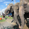 CATHY SPAULDING/Muskogee Phoenix<br /> Three elephants with Carden International Circus slurp some water at the Bedouin Shrine Temple Monday afternoon while stopping in Muskogee. The elephants were traveling from Dallas to Johnson City, Tennessee. The elephants are due to return to Muskogee on Oct. 26 and 27 as part of the Bedouin Shrine Circus.