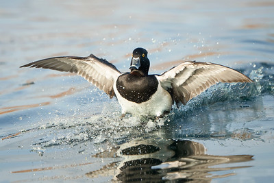 Ring-necked Duck Phoenix, AZ