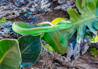 Phoenix Herpetological Society Critters November 07 2015 021