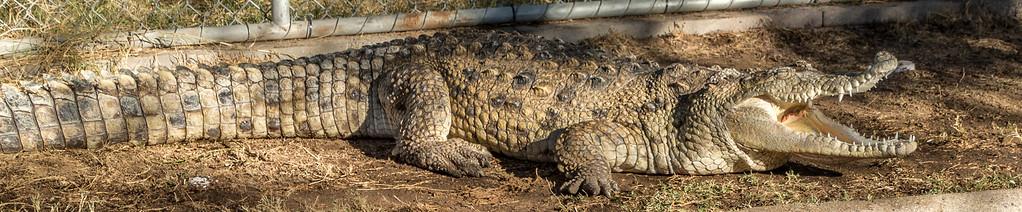 Phoenix Herpetological Society Critters November 07 2015 001