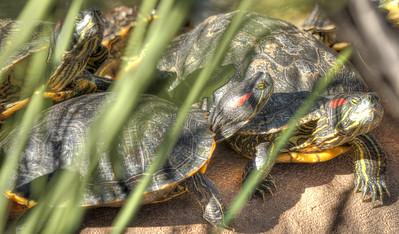 Phoenix Herpetological Society Critters November 07 2015 009