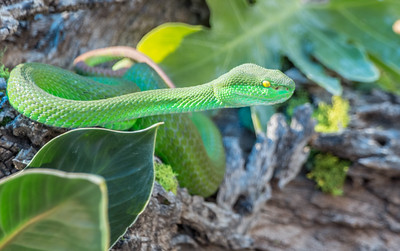 Phoenix Herpetological Society Critters November 07 2015 022