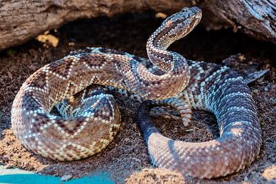 Phoenix Herpetological Society Critters November 07 2015 024