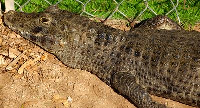 Phoenix Herpetological Society Critters November 07 2015 008