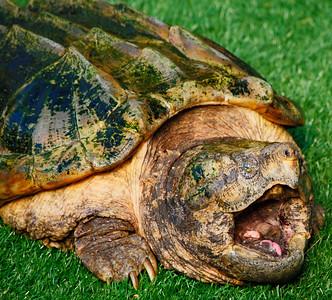 Phoenix Herpetological Society Critters November 07 2015 007