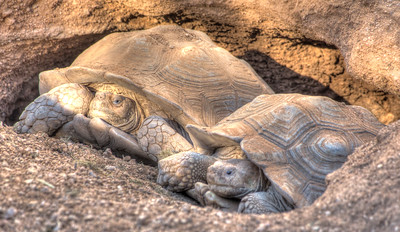 Phoenix Herpetological Society Critters November 07 2015 002