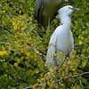 DSC_8429 wEgret&Night Heron