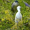 DSC_8427 Egret & Night Heron