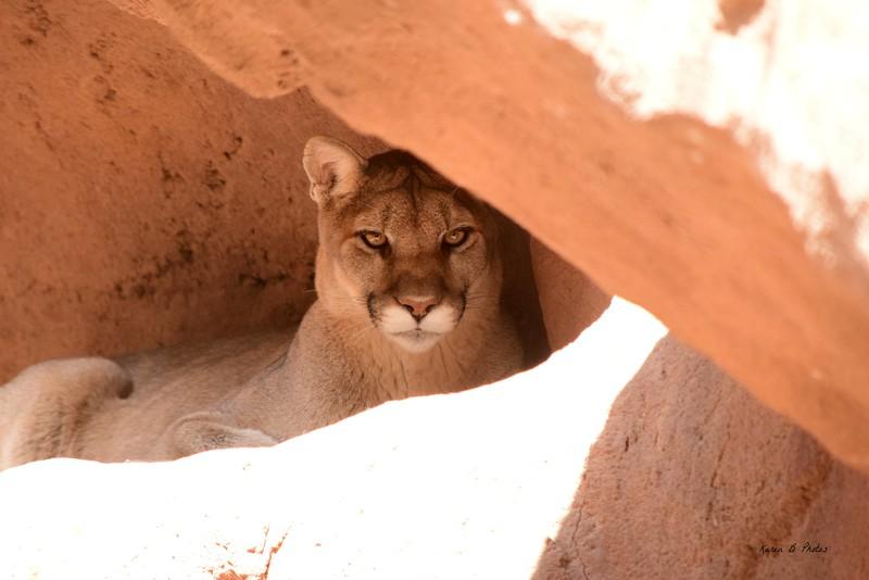 DSC_9119 w Cougar