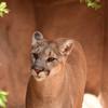 DSC_9035 sw Cougar