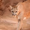 DSC_9097 w Cougar