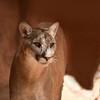 DSC_9032-1 w Cougar
