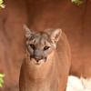 DSC_9036 sw Cougar