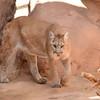 DSC_9093 w Cougar