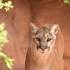 DSC_9040 sw Cougar