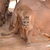 DSC_9094 w Cougar