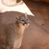 DSC_9089 sw Cougar