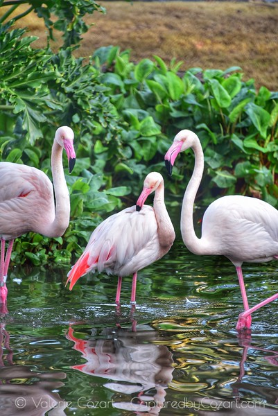 Pink Flamingos Striking a Pose