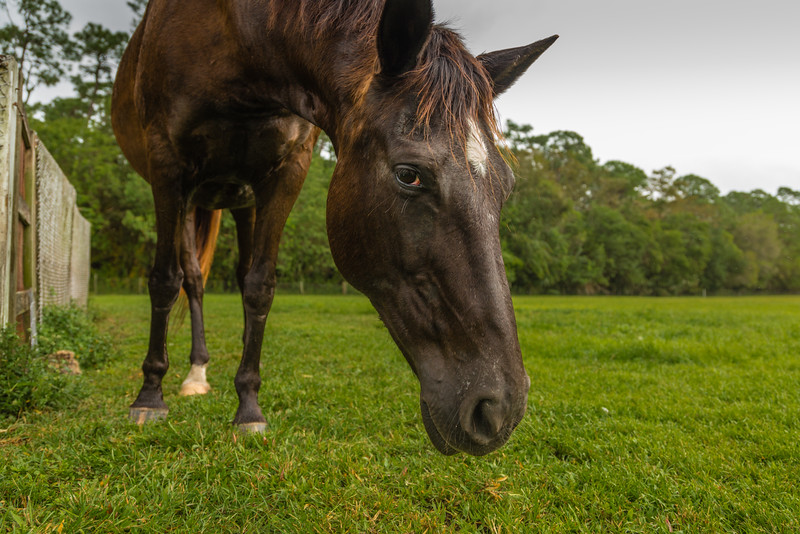 Phoenix at her new home in Loxahatchee Groves, on Saturday, October 29, 2016, the day after her arrival from ERAF in Martin County. (Joseph Forzano / Deep Creek Films & Photography)