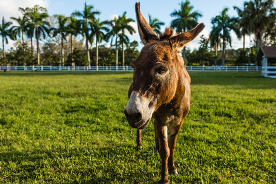 Miss Olivia, the miniature donkey in Loxahatchee Groves, on Monday, October 31, 2016. (Joseph Forzano / Deep Creek Films & Photography)