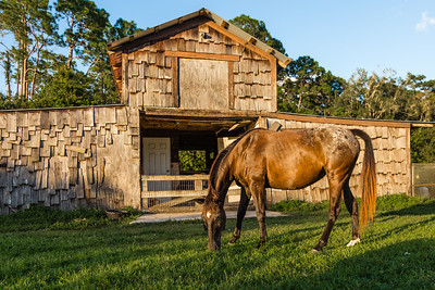 Phoenix in front of the barn where her feed and tack are kept at her new home in Loxahatchee Groves, on Monday, October 31, 2016, three days after her arrival from Equine Rescue and Adoption Foundation Martin County. Sami and Joe Forzano adopted Phoenix from ERAF after having to put their horse Baxter down because of cancer. (Joseph Forzano / Deep Creek Films & Photography)