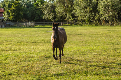 Phoenix runs across the pasture at her new home in Loxahatchee Groves, on Monday, October 31, 2016, three days after her arrival from Equine Rescue and Adoption Foundation Martin County. Sami and Joe Forzano adopted Phoenix from ERAF after having to put their horse Baxter down because of cancer. (Joseph Forzano / Deep Creek Films & Photography)