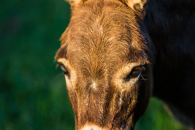 Miss Olivia, the miniature donkey in Loxahatchee Groves, on Friday, November 4, 2016. (Joseph Forzano / Deep Creek Films & Photography)