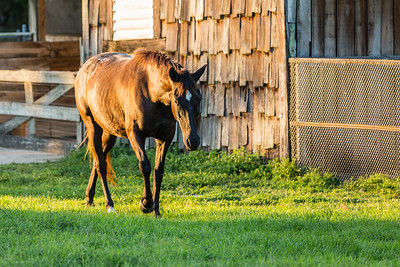 Phoenix walks past the barn at her new home in Loxahatchee Groves, on Friday, November 4, 2016, eight days after her arrival from Equine Rescue and Adoption Foundation Martin County. (Joseph Forzano / Deep Creek Films & Photography)