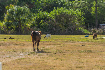 Phoenix and her farm friends in Loxahatchee Groves on Monday, April 10, 2017. (Joseph Forzano / Deep Creek Films & Photography)