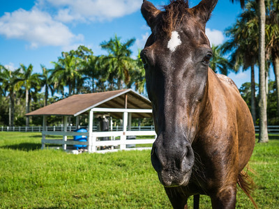 On the farm with Phoenix and her pasture pals in Loxahatchee Groves on Monday, August 7, 2017. (Joseph Forzano / Deep Creek Imagery)