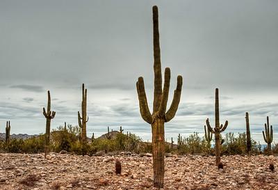 desert-saguaro-cactus-4-1
