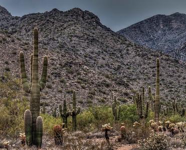 mountain-saguaro, cactus-1-2