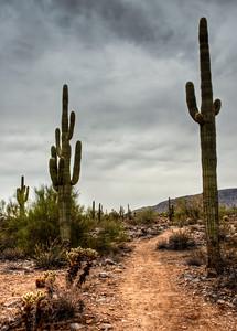 desert-saguaro-cactus-9-1
