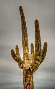 saguaro-cactus-1