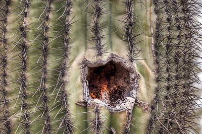 saguaro-cactus-2-1