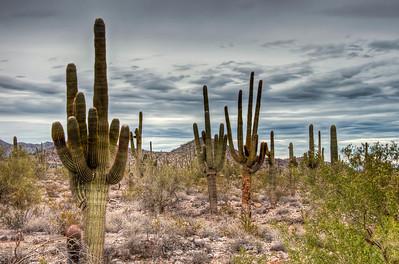 desert-saguaro-cactus-1