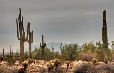 desert-saguaro-cactus-7-1