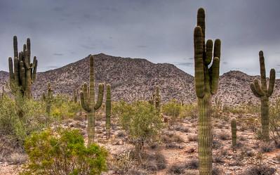 desert-saguaro-cactus-2-1