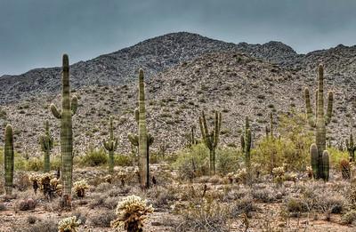 desert-saguaro-cactus-6-3