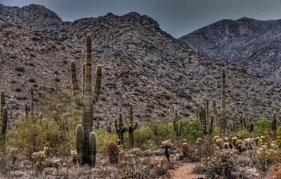 mountain-saguaro, cactus-1