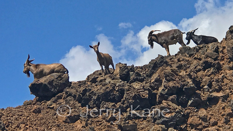 Wild goats near the Kona Coast, HI