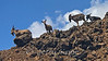 Wild goats near the Kona Coast, HI