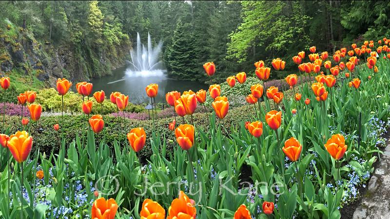 Tulips in Butchart Gardens, Vancouver Island, Canada